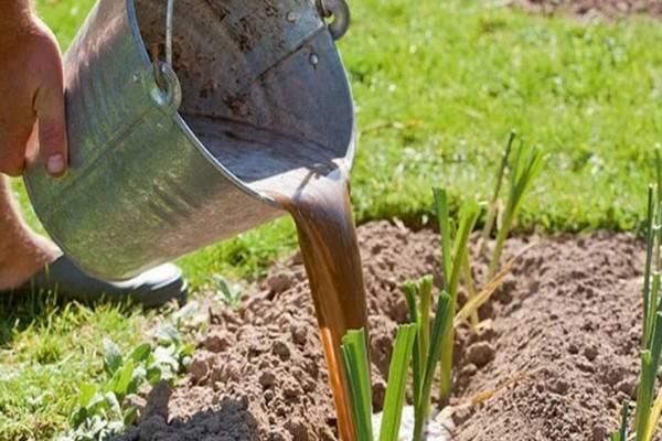 Уход за озимым чесноком весной после зимы