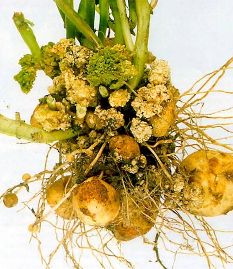 Рак картофеля: фото и опасность для человека