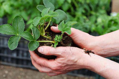 Пересадка клубники: когда и как это делать. пересаживаем клубнику весной, летом и осенью