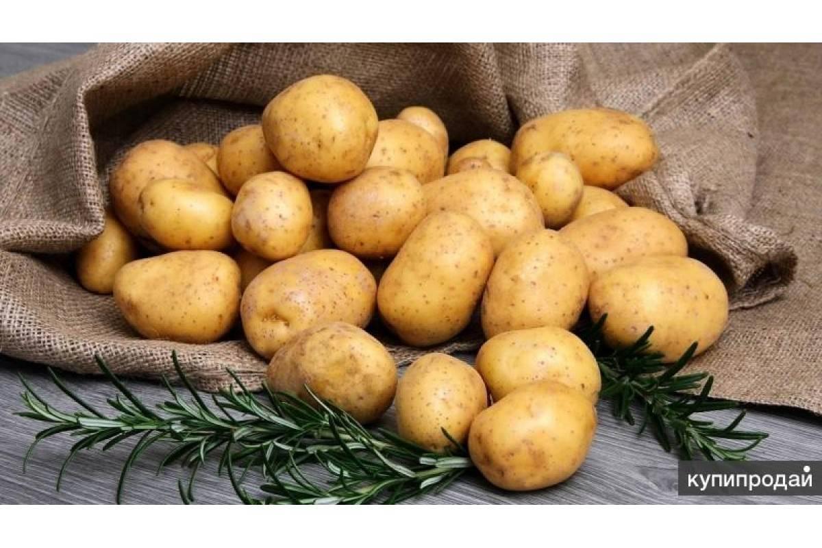 Картофель тулеевский: фото, описание сорта, характеристика, отзывы