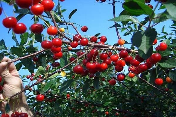 Вишня: описание 20 лучших сортов | фото +отзывы садоводов