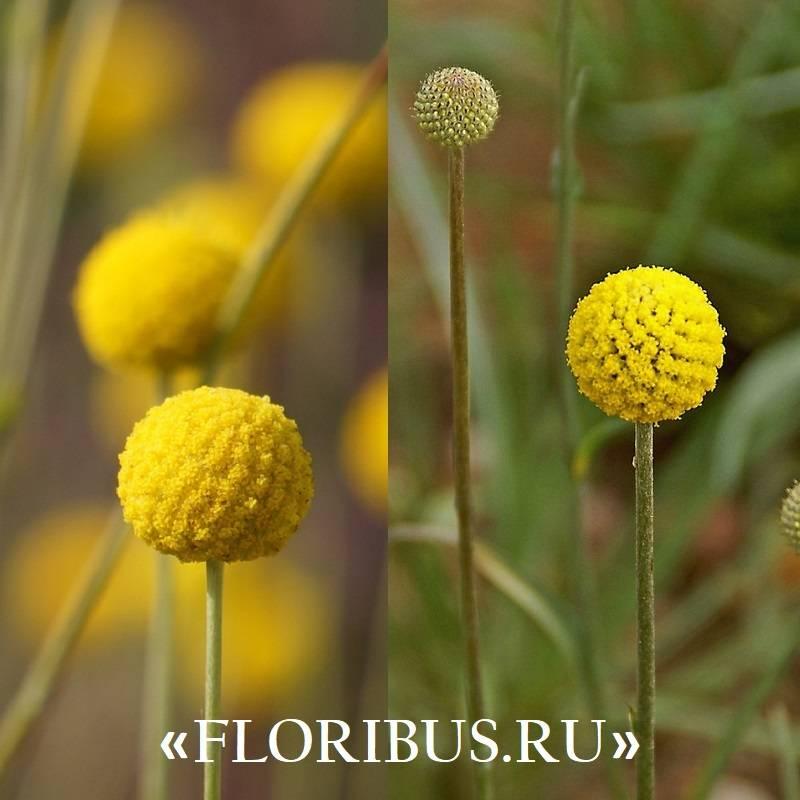 Краспедия или барабанные палочки, выращивание из семян
