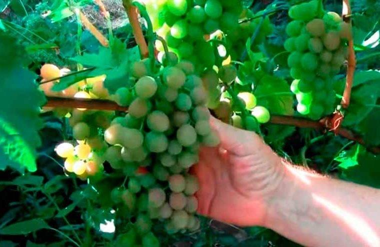 Виноград блестящий описание сорта фото отзывы видео