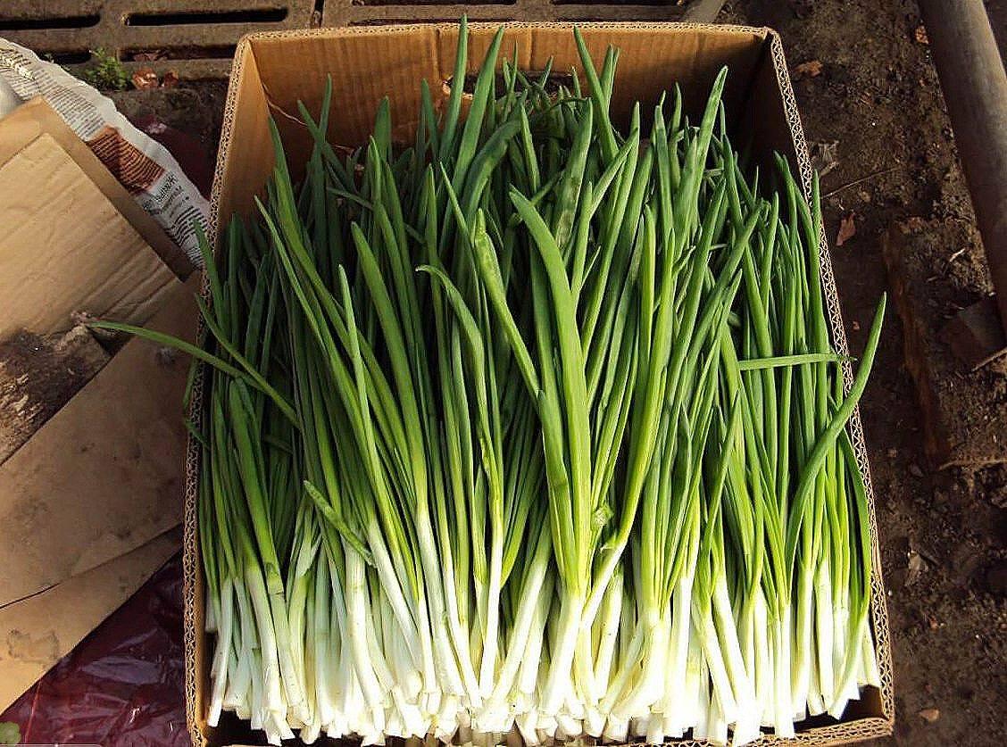Лук батун: посадка и уход в открытом грунте, как и когда сажать семенами весной и под зиму, а также как провести пересадку на новое место