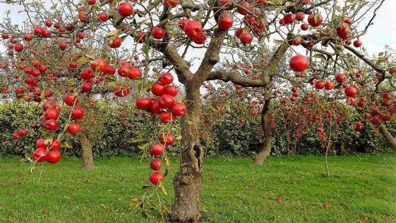 Карликовый фруктовый сад: фото деревьев, выращивание яблонь на карликовом подвое, описание сортов
