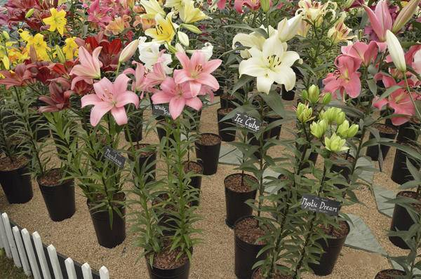 Садовые лилии - посадка и уход, важные нюансы выращивания