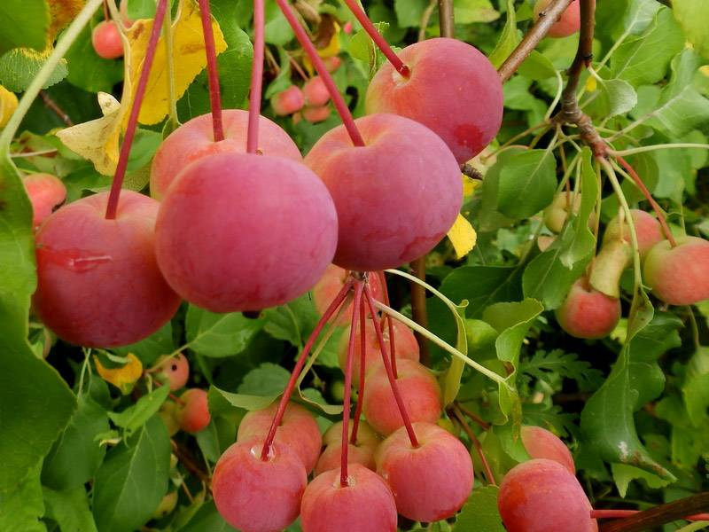 Яблоня китайка золотая ранняя описание сорта