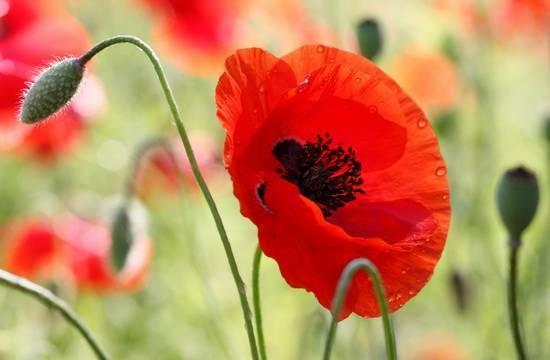 Цветок мак: посадка и уход в открытом грунте, виды и сорта, выращивание из семян