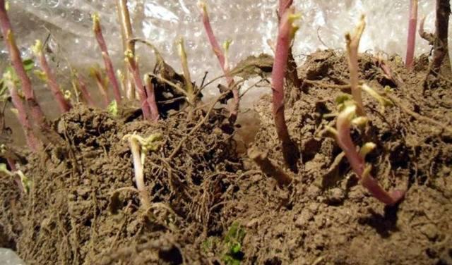 Как сохранить не выкапывая хризантемы зимой не выкапывая. какие сорта хризантем обязательно надо выкапывать на зиму и как сохранить их до весны.   дачная жизнь