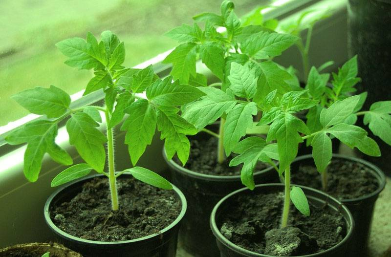 Почему рассада помидор тонкая и длинная | вырасти сад!