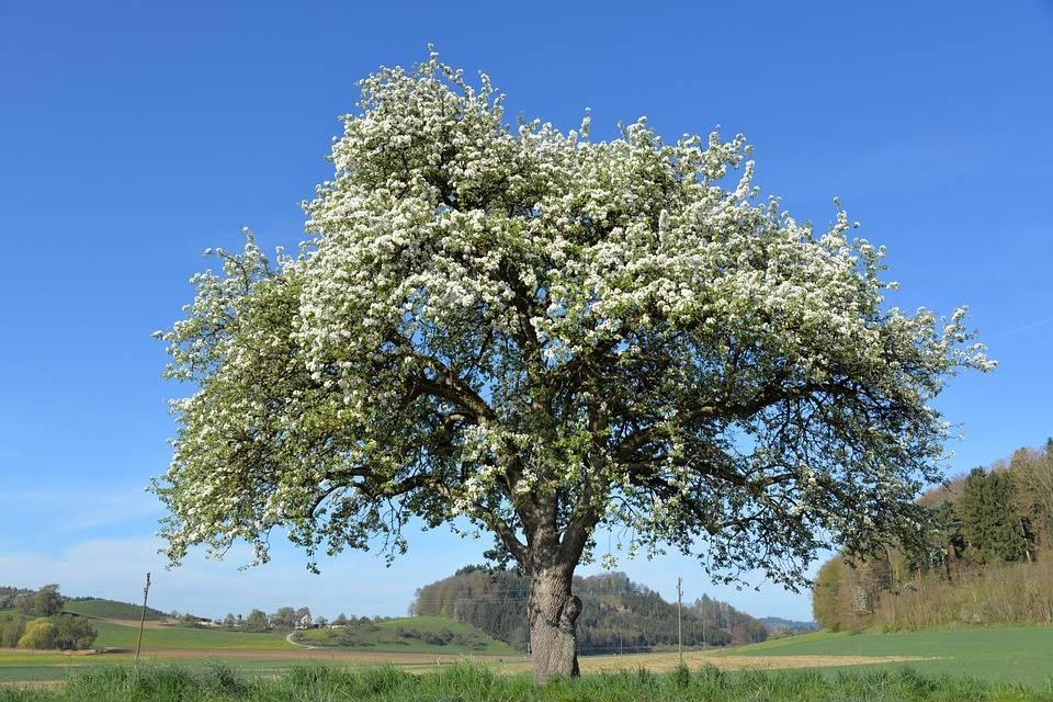 Срок жизни яблони — что на это влияет