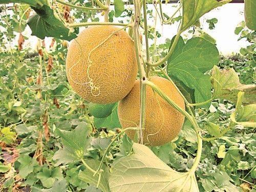 Как выращивать арбузы в открытом грунте, правила и особенности ухода