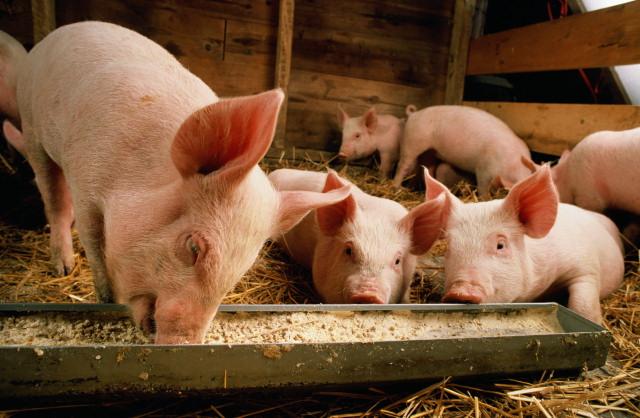 Премиксы для свиней: виды,цены, польза и вред