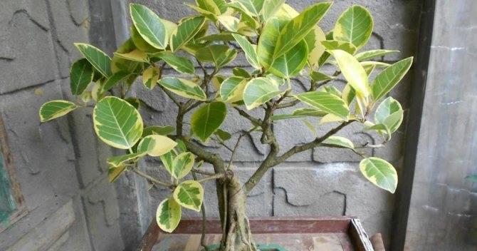 Размножение фикуса бенджамина (25 фото): как размножить его в домашних условиях черенками? как укоренить?