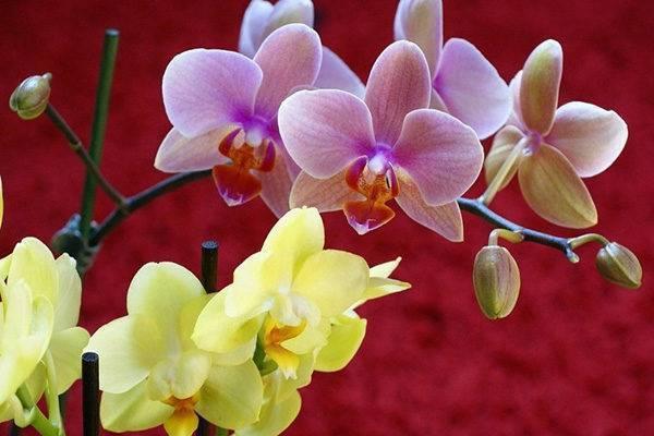 Почему у орхидеи опадают бутоны и что с этим делать — спасаем цветок