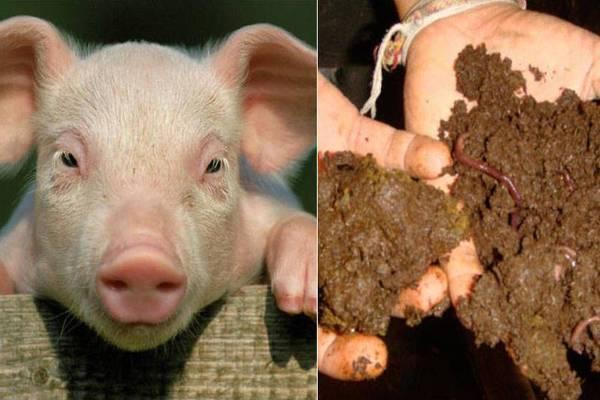 Свиной навоз как удобрение