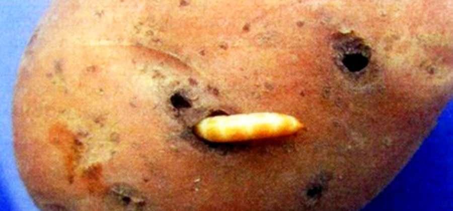 Как бороться с проволочником на картошке: самые эффективные способы