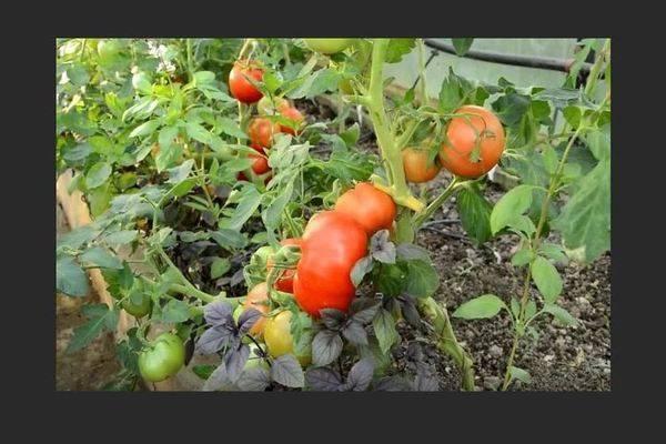 Томат взрыв: описание и выращивание сорта на огороде