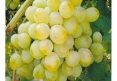 Сорт винограда фрумоаса албэ, описание