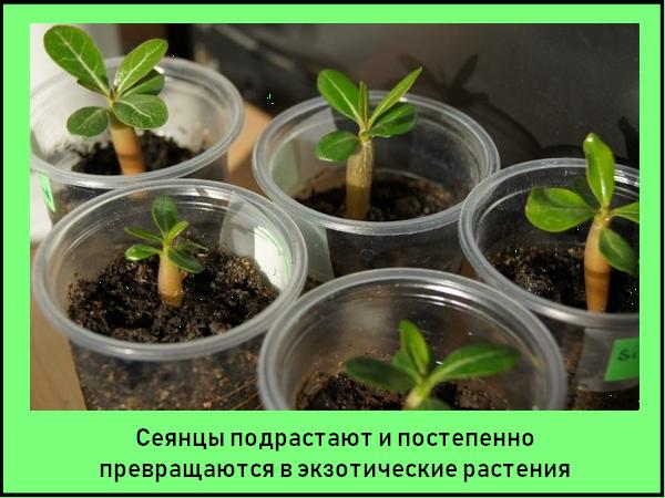 Адениум в домашних условиях - выращивание, уход, размножение, пересадка