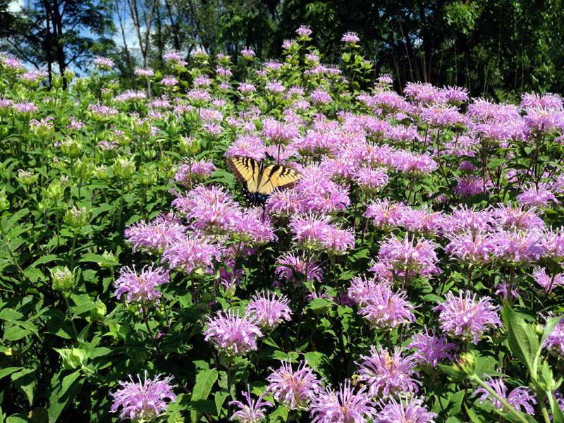 Цветок «Монарда»: виды с фото, посадка и уход в открытом грунте