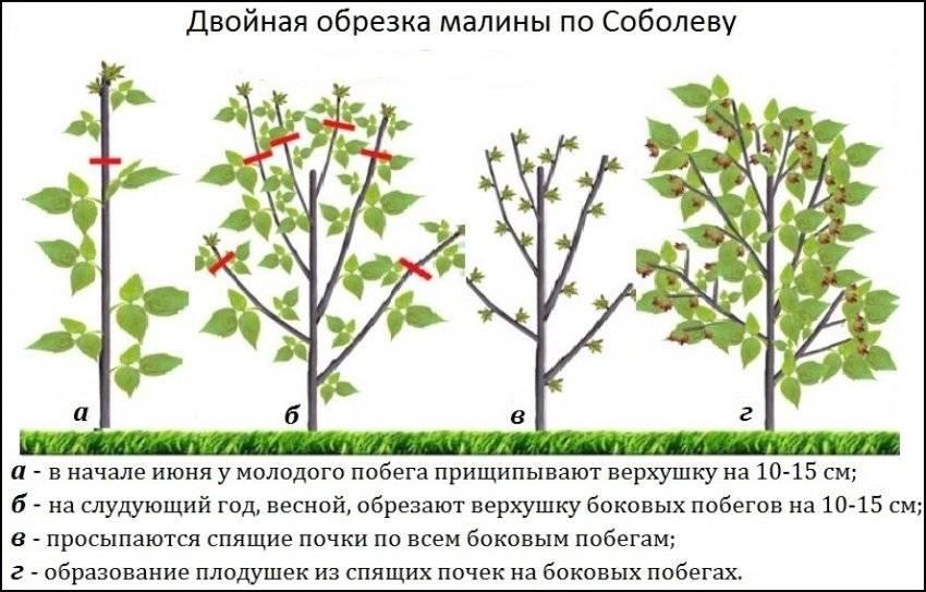 Обрезка малины осенью для начинающих: правила обрезки, высота, сроки
