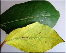 Щитовка на комнатных растениях: особенности, как бороться, фото вредителя на цветах