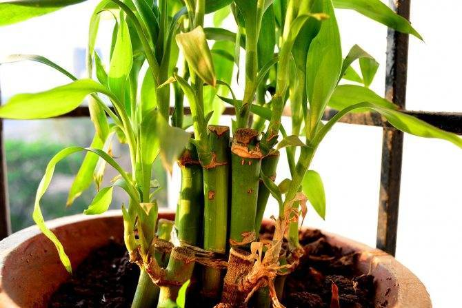 Драцена сандера, бамбук уход в домашних условиях, размножение спирали, удобрение