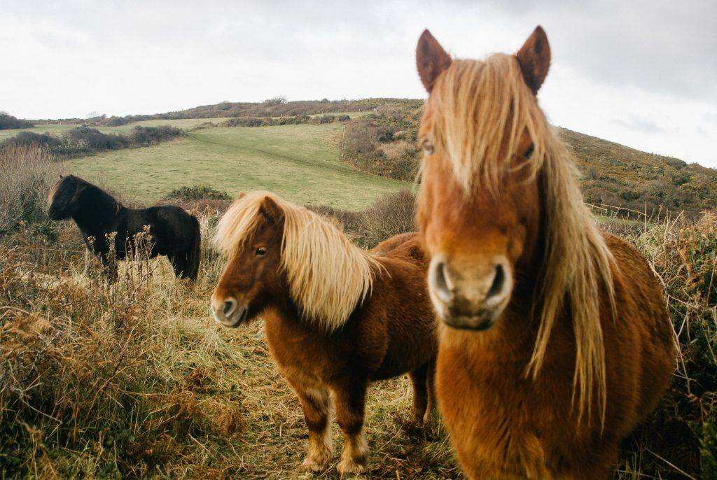 Пони лошадь. образ жизни и среда обитания пони | животный мир