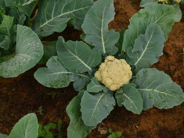 Подкормка капусты в открытом грунте: чем, как и когда, обзор удобрений, народных средств, рекомендуемые сроки и периодичность