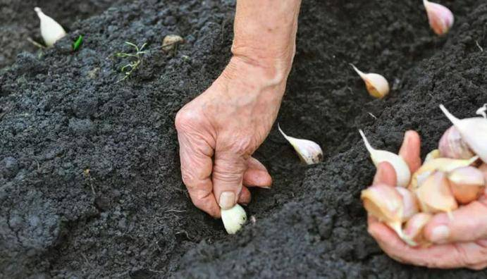 Посадка чеснока под зиму в 2020: как и когда