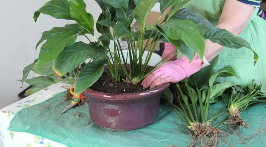 Чем можно удобрять спатифиллум для обильного цветения: регулярность внесения и дозировки