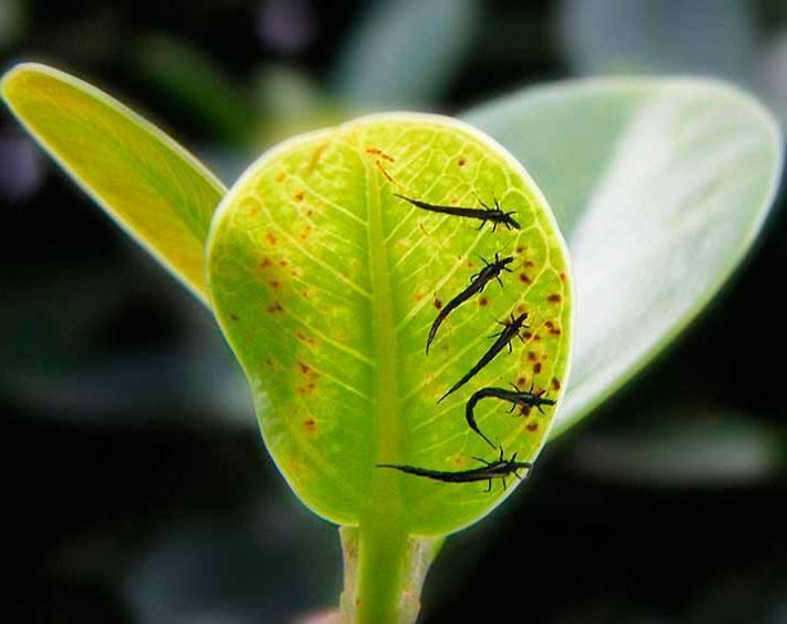 Трипсы - враги комнатных растений: как избавиться,фото,видео   растюнька