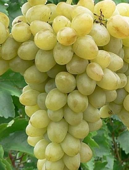 Виноград надежда азос: описание сорта, правила выращивания и советы по уходу