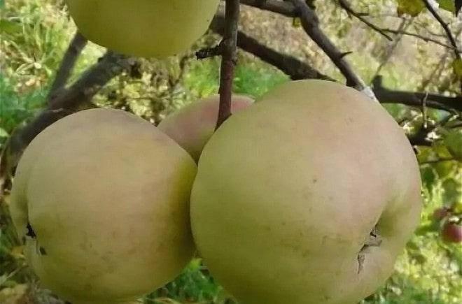 Яблоня память сюбаровой: фото и описание сорта, отзывы садоводов