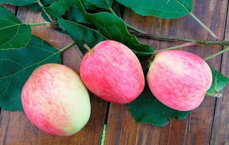 Яблоня аркадик: реальные отзывы, топ правила выращивания, фото
