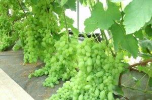Элегантный и непривередливый виноград элегант сверхранний
