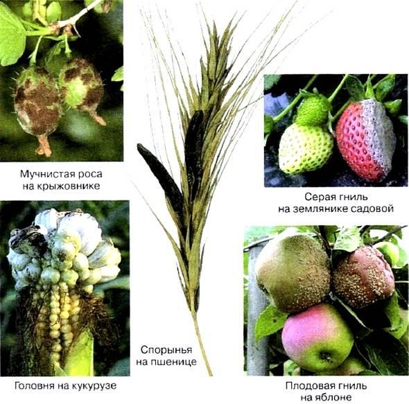 Головневые грибы: паразиты зерновых культур, как происходит заражение