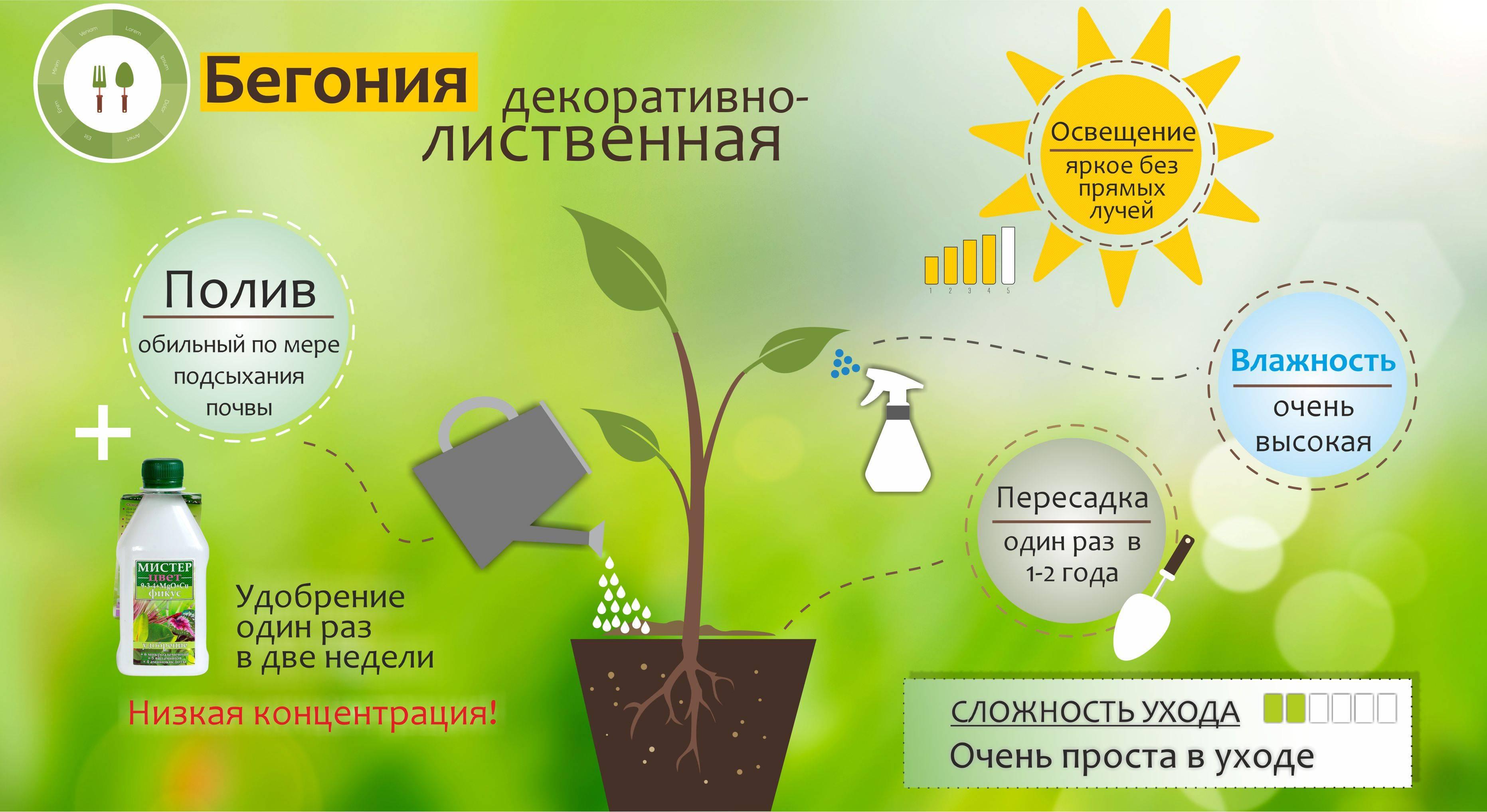 Декоративно-лиственная бегония уход и размножение в домашних условиях | образцовая усадьба