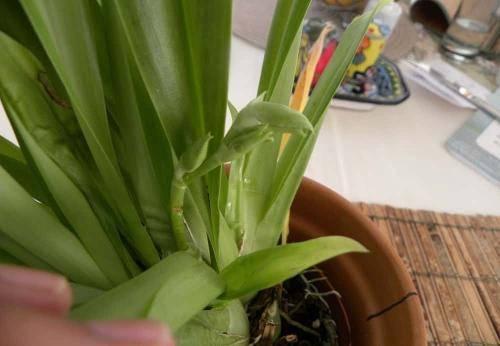 Особенности выращивания орхидеи мильтония