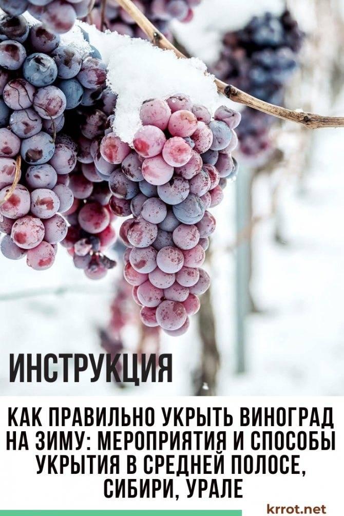 Особенности и правила посадки винограда - vinograd-loza