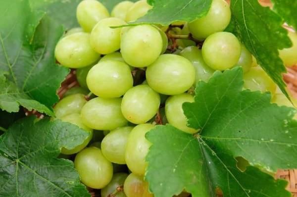 Виноград шардоне: характеристика и описание сорта, посадка и уход