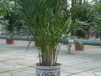 Домашние пальмы: виды и разновидности с названиями и фото