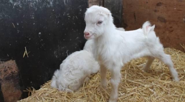 Молочные козы породы ламанча - достоинства и недостатки.
