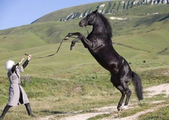Карачаевская порода лошадей, ее описание, особенности, фото и видео карачаевская порода лошадей, ее описание, особенности, фото и видео