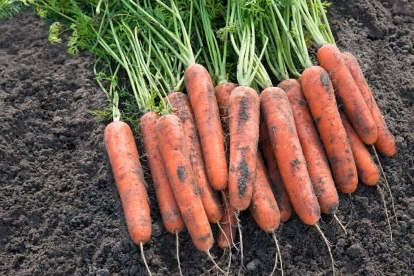 Описание сорта моркови Самсон — как поднять урожайность