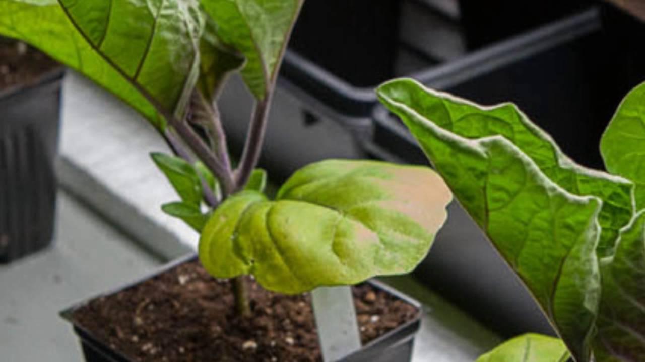 Почему у рассады томатов скручиваются и краснеют листья: 2 проблемы и работа над ошибками