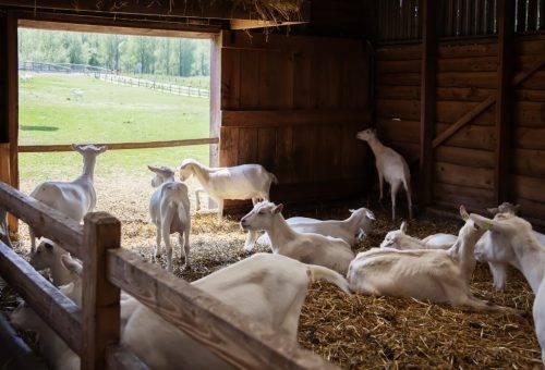 Сарай для коз своими руками: как сделать, требования, фото
