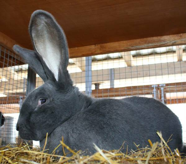 Особенности выращивания кролика ризен