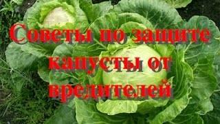 Чем лучше обработать капусту от мошки народными средствами